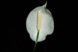 Fleur de spathiphyllum